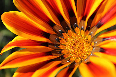 Print featuring the photograph Gazania Glory by Richard Stephen