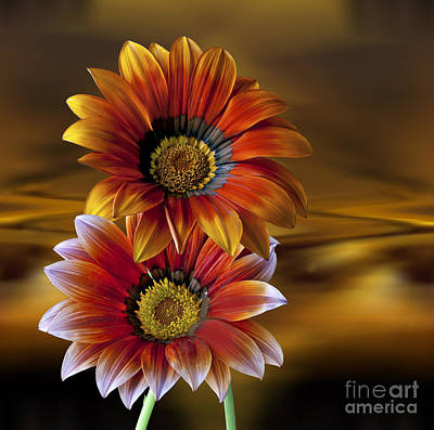 Photograph - Gazania Gold by Shirley Mangini