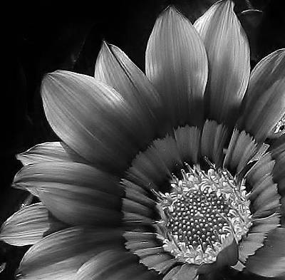 Photograph - Gazania In Black And White by Bruce Bley