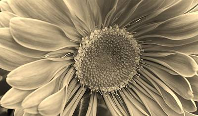 Photograph - Gazania In Sepia by Bruce Bley