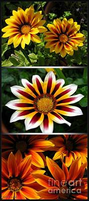 Photograph - Gazania - Kiss Series by J McCombie