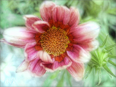 Photograph - Treasure Flower Gazania by Louise Kumpf