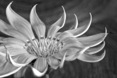 Photograph - Gazania Monochrome by David and Carol Kelly