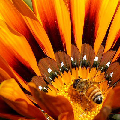 Photograph - Gazania Pollination by Ernie Echols