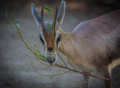 Photograph - Gazelle by Matthew Onheiber