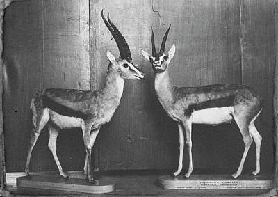 Gazelles In Lower Mammal Gallery Art Print by Natural History Museum, London