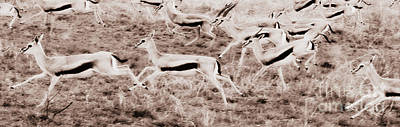 Photograph - Gazelles Running by Chris Scroggins