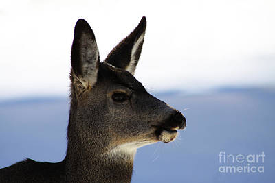 Photograph - Gazing Deer by Alyce Taylor