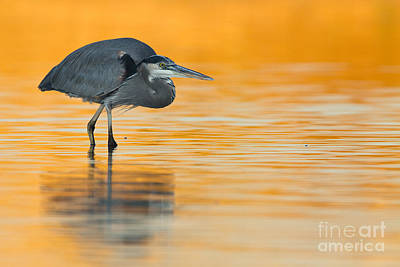 Art Print featuring the photograph Gbh In Orange Water by Bryan Keil
