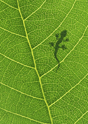 Photograph - Gecko by Aged Pixel