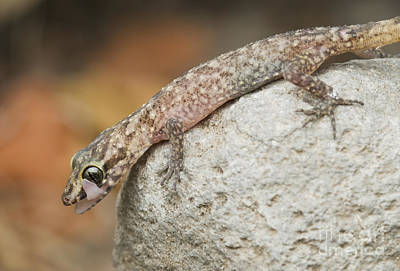Photograph - Gecko Licking Its Eye by Dan Suzio