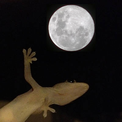 Igdaily Photograph - Gecko Moon by Cameron Bentley
