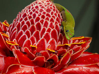 Photograph - Gecko On Red Ginger by Inge Riis McDonald