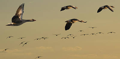 Photograph - Geese Charter by Michael Mogensen