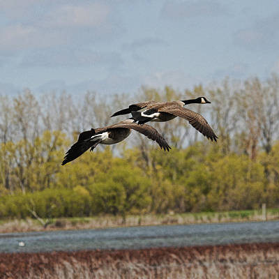 Photograph - Geese by David Armstrong