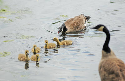 Geese Family Art Print