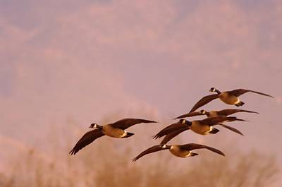 Geese Flying Over Art Print by Jeff Swan
