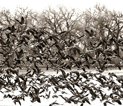 Photograph - Geese In Flight 2 by Marilyn Hunt