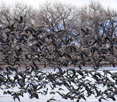Photograph - Geese In Flight by Marilyn Hunt