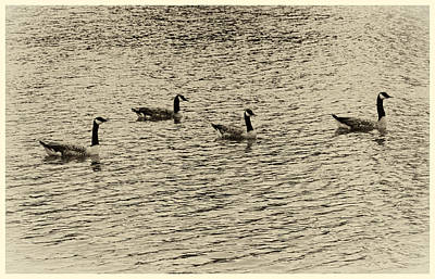 Photograph - Geese In Sepia by Tony Grider