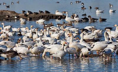 Geese In Winter Art Print