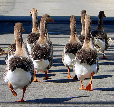 Photograph - Geese  by Jeff Lowe