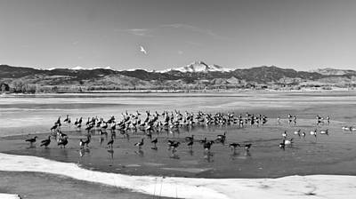 Photograph - Geese On Ice Bw by James BO Insogna