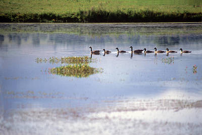 Photograph - Geese On Pond - Missoula Mt by Harold E McCray