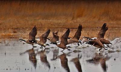 Art Print featuring the photograph Geese On The Run by Lynn Hopwood