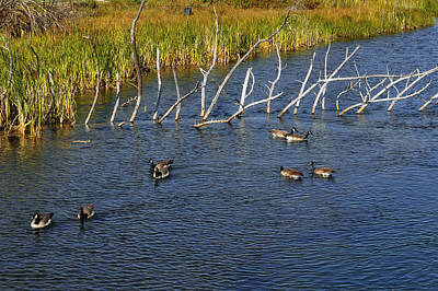 Angels And Cherubs - Geese swimming in Bend Oregon by Thomas J Rhodes