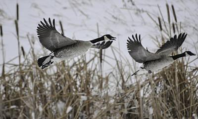 Photograph - Geese-winterreeds-inflight by Rae Ann  M Garrett
