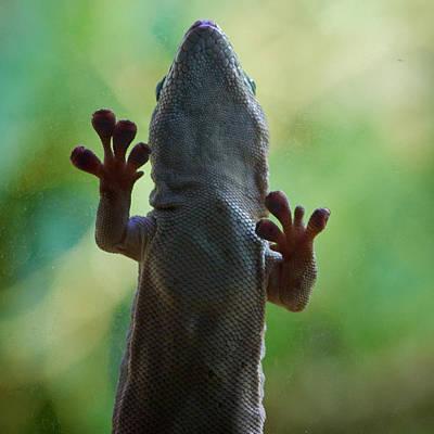 Jouko Lehto Royalty-Free and Rights-Managed Images - Gekko gecko by Jouko Lehto
