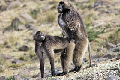 African Sex Photograph - Gelada Baboons Mating by M. Watson