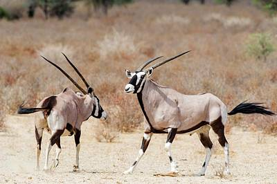 Gemsbok Male And Female Print by Peter Chadwick
