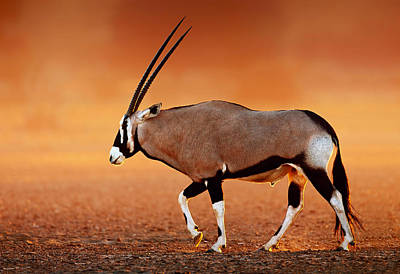Glowing Photograph - Gemsbok On Desert Plains At Sunset by Johan Swanepoel