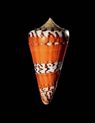 General Cone Shell Art Print