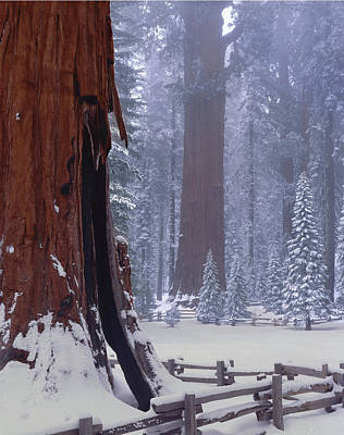 Photograph - 2m6835-general Sherman Tree - Giant Sequoias by Ed  Cooper Photography