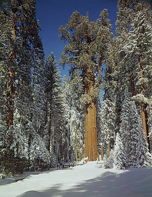 Photograph - 106859-general Sherman Tree In Winter 1968  by Ed  Cooper Photography