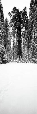 Sequoiadendron Giganteum Photograph - General Sherman Trees In A Snow Covered by Panoramic Images