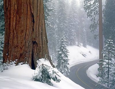 Photograph - 2m6836-generals Highway In The Giant Sequoias by Ed  Cooper Photography