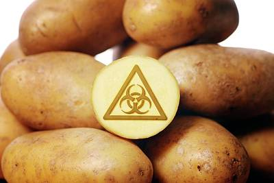 Agricultural Industry Wall Art - Photograph - Genetically Modified Potatoes by Bildagentur-online/ohde/science Photo Library