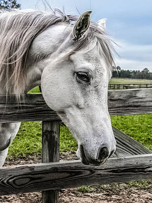 Forelock Photograph - Gentle Beauty by CarolLMiller Photography