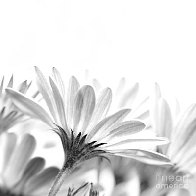 Gentle Daisy Flowers Art Print by Anna Om