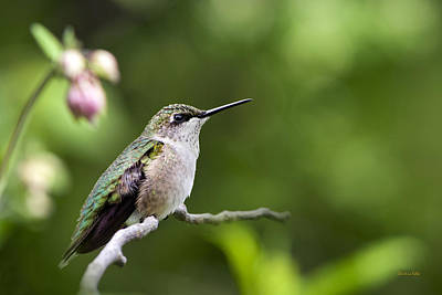 Photograph - Gentle Hummingbird by Christina Rollo