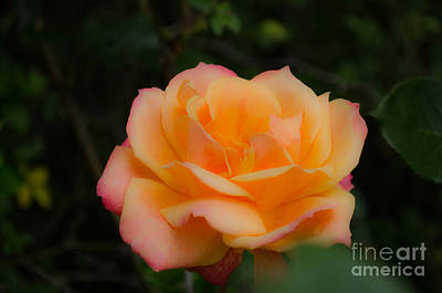 Photograph - Gentle Soft Rose by Donna Brown