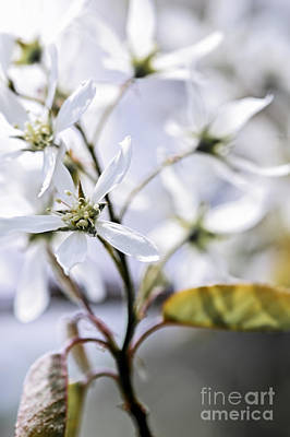 Growth Photograph - Gentle White Spring Flowers by Elena Elisseeva
