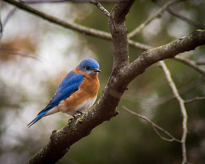 Photograph - Gentleman Bluebird by Bill Pevlor