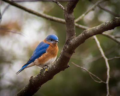 Photograph - Gentleman Bluebird by Bill Pevlor