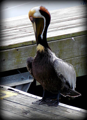 Photograph - Gentleman Brown Pelican by Sheri McLeroy