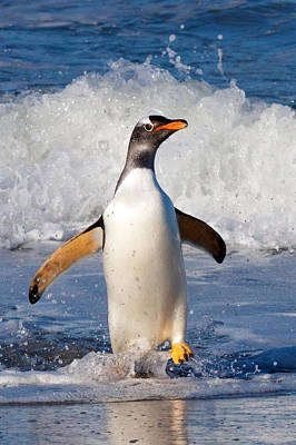 Photograph - Gentoo Ashore by David Beebe